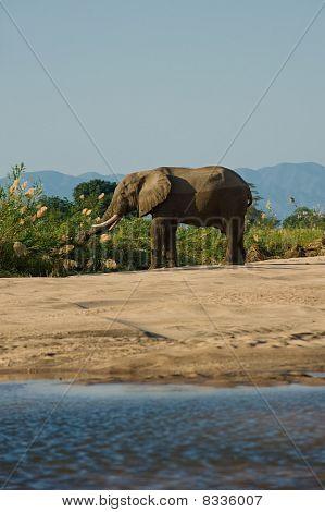 Elephant bull feeding