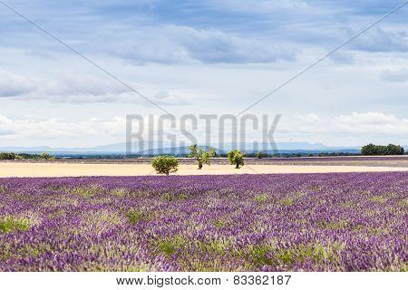 Lavander Field