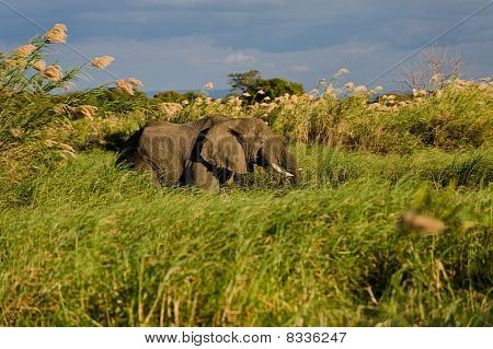 Elephant In The Reed