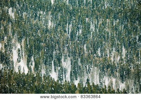 Fir trees forest covered with snow during day