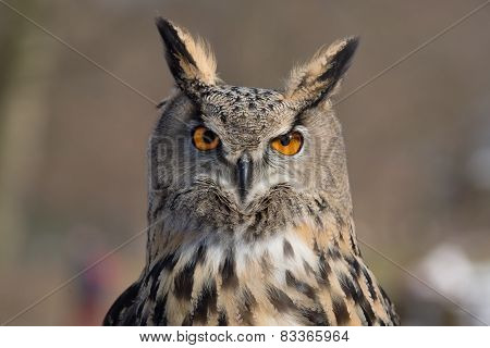 Eagle Owl An eagle owl portrait