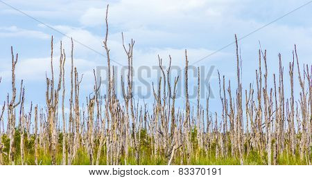 Swamp Area With Dead Trees In The Everglades