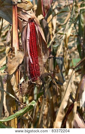 Indian Fall Corn with Husk