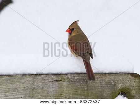 A Female Northern Cardinal On Top Of A Snowy Perch