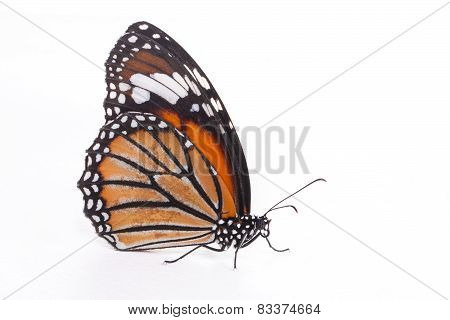 Single monarch butterfly isolated