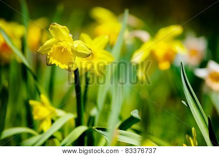 Yellow Daffodil Garden In Summer