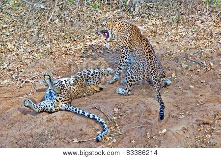 Leopards at play