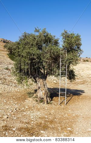 The Old Olive Tree Is Resting On His Metal Stepladder.