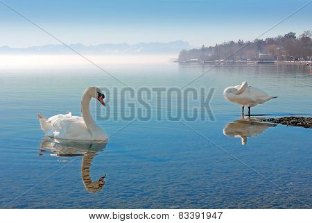 Swans At Starnberg Lake, Germany