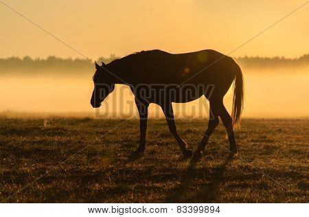 Horse silhouette on a background of dawn