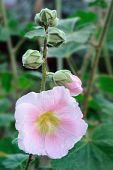 Closeup Of Pink  Hollyhock (alcea Rosea).