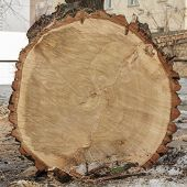 pic of ash-tree  - Fresh end cut of very large deciduous tree with tree rings texture with saw marks - JPG