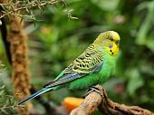 image of parakeet  - A budgerigar perched on a branch with an orange in the background - JPG
