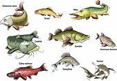 image of food chain  - Vector cartoon collection of fresh water fish - JPG