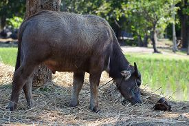 pic of terrestrial animal  - Terrestrial Animal Thailand water buffalo looking at camera close up