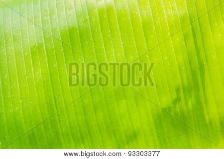 Surface Of Banana Leaves.