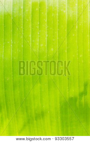 The Texture Of Banana Leaf.
