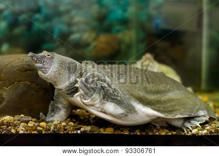 Freshwater Exotic Chinese Softshell Turtle