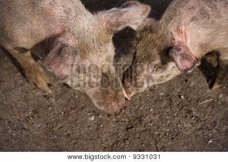 Two large white pigs in muddy field