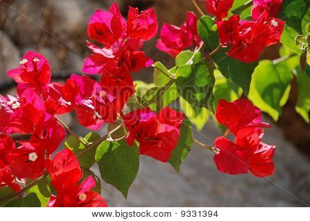 Red flowers, Halki island