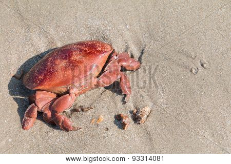 Death red crab on sand beach in afternoon