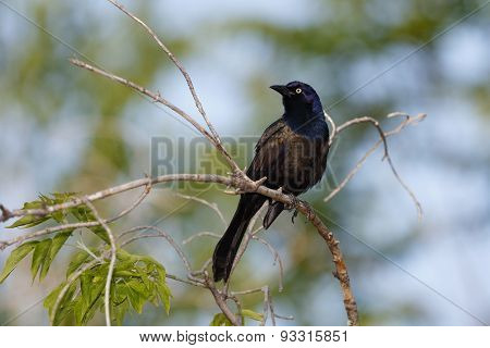 Common Grackle Perched In A Shrub - Ontario, Canada