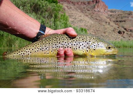 Oregon Brown Trout