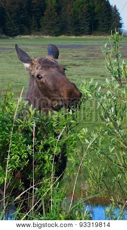 Moose Eating Alder
