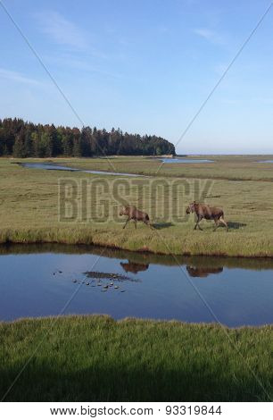 Mother Moose Chases Her Son In A Marsh
