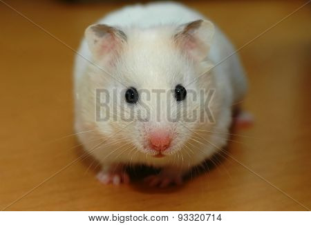 Focusing on the head of angora hamster