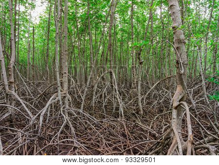 The Forest Mangrove.