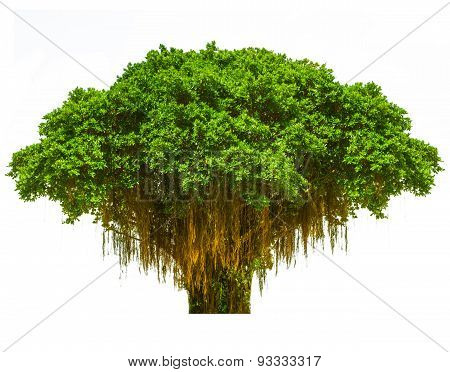 The Single Tree On Isolate Background.