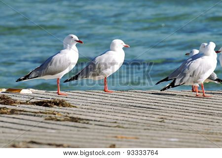 Group of seagulls on the boat ramp