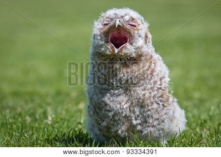 Young Tawny owl chick