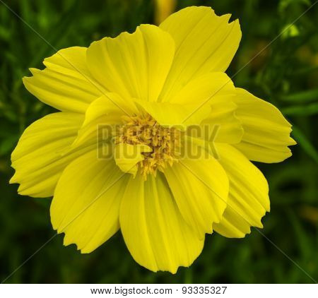The Single Cosmos Spp Flower Color Yellow.