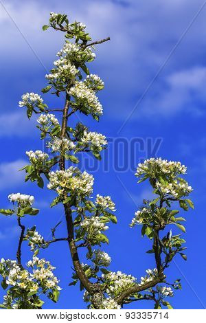 European or common pear, pyrus communis, flowers