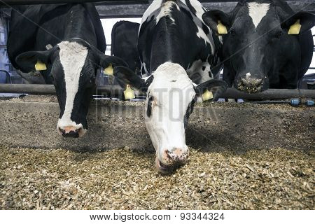 Three Black And White Cows Eating In Stable