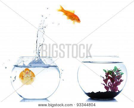 goldfish jumping off to new fishtank