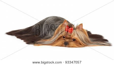 Yorkie Of Show Class With Scattered Hair