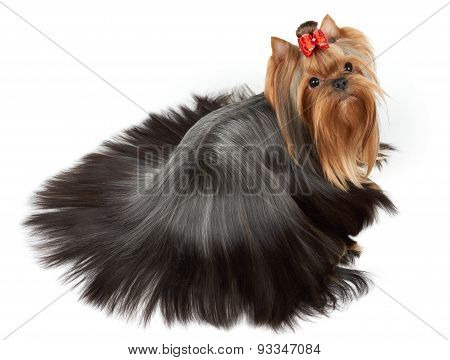 Dog With Accurately Combed Hair