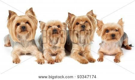 Four Groomed Dogs Over White