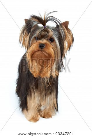 Dog With Elegant Top Knot