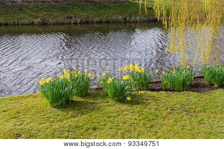 Blooming Narcissus Flowers