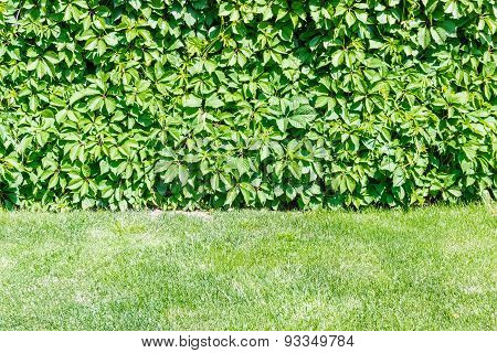 Ivy On The Wall And Grass