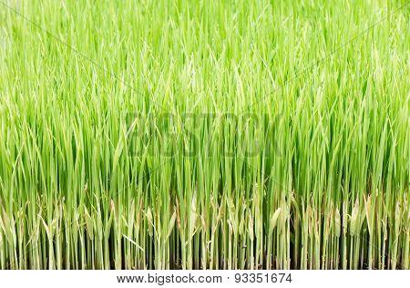 Transplanting Rice