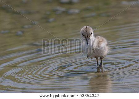 Pied avocet chick