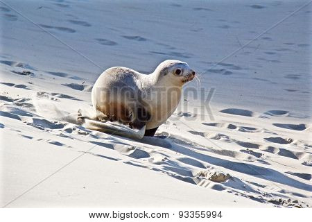 Running Sea Lion Pup