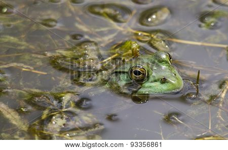 Bull Frog Hunting Insects