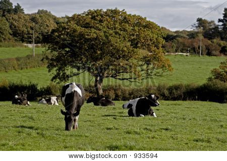 Dairy Cows In A Meadow