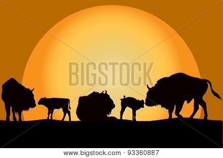 Bisons Family At Sunset